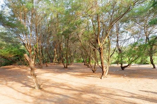 Pantai dengan pohon cemara