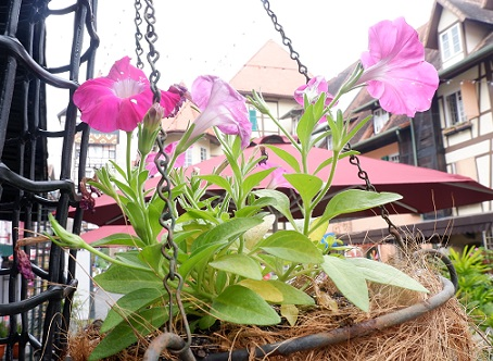 bunga colmar