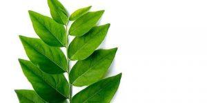 Manfaat daun katuk
